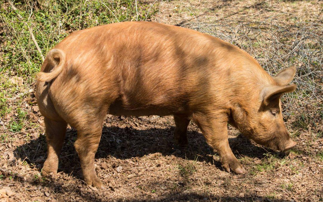 SJF Weekend Workshop – Pigs 101: Husbandry, Killing, Butchering Basics